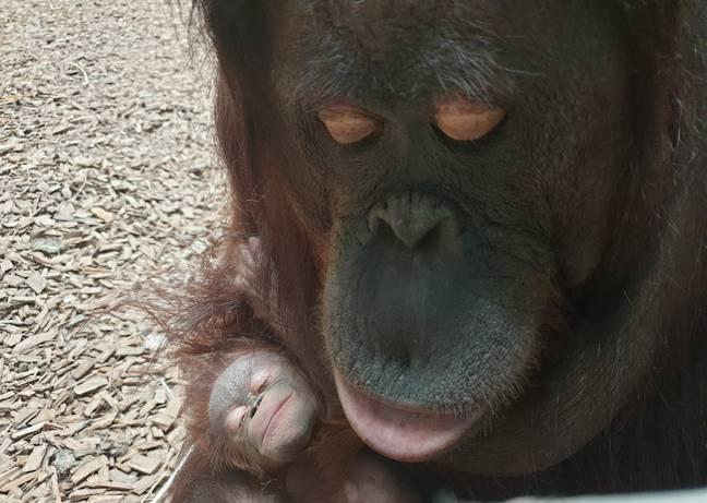 Crédito: Chester Zoo