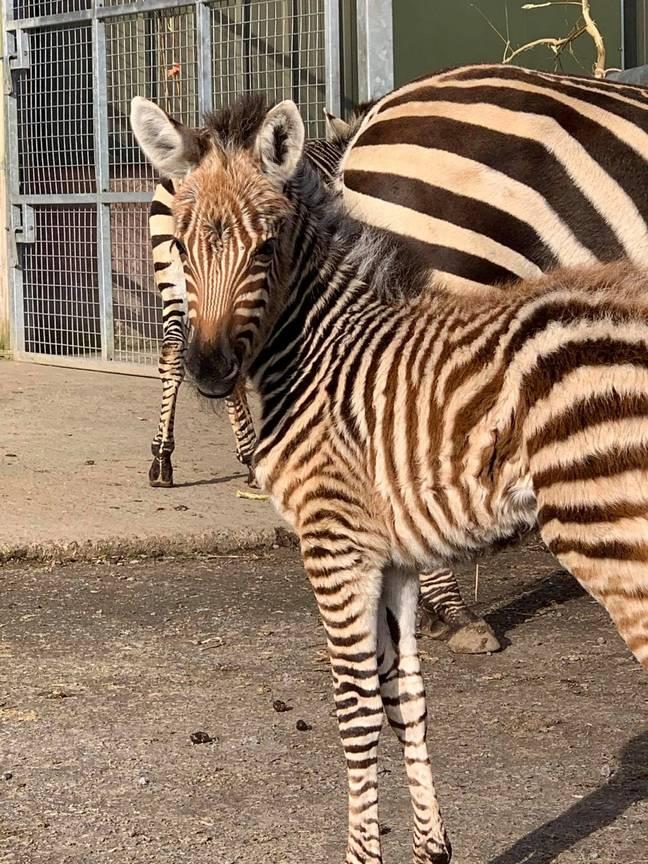 Zebra bebê morre depois de ser 'assustada' por fogos de artifício