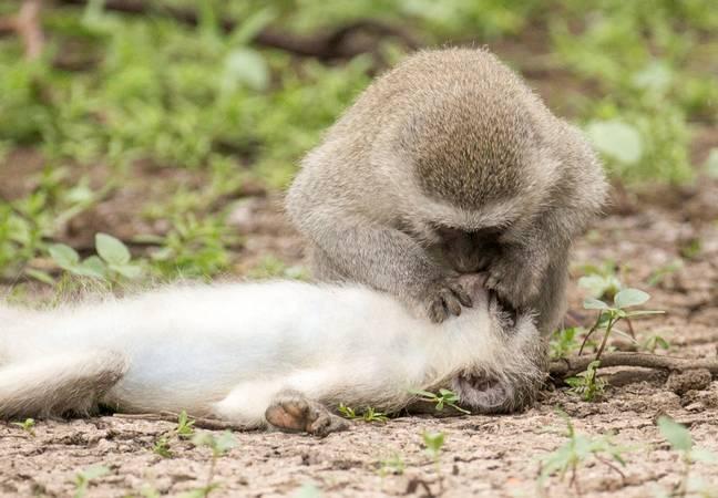 Incríveis fotos capturadas de momento em que macaco parece dar boca a boca para um amigo