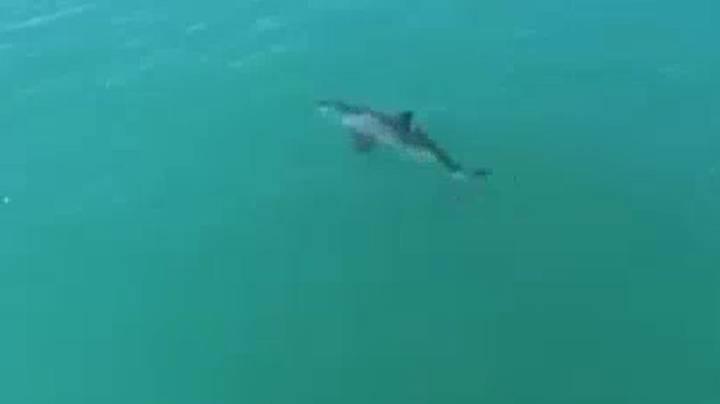 Drone captura tubarão branco nadando 'pelo menos 20 mph'