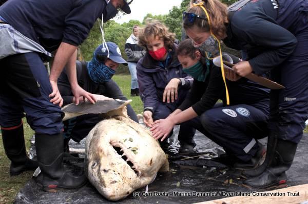 Uma carcaça de tubarão descoberta no início deste ano, que se acredita ter sido morta por orcas.  Crédito: Cari Roets / Marine Dynamics / Dyer Island Conservation Trust
