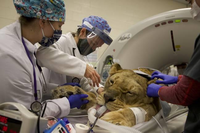 Leoa resgatada do zoológico de Joe Exotic sofre cirurgia