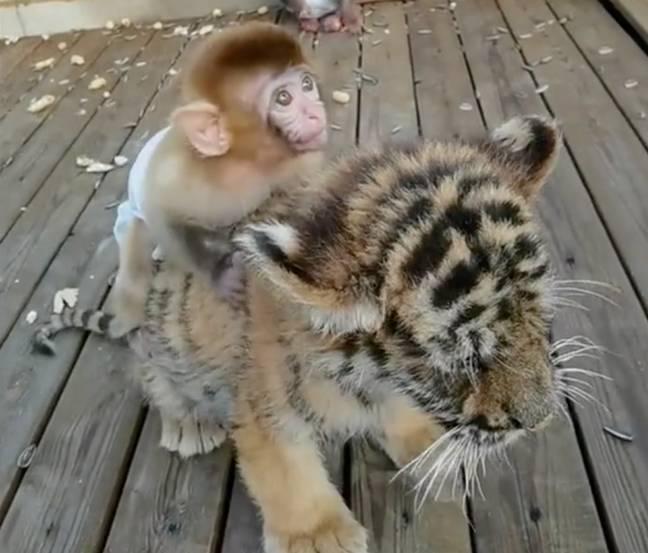 O bebê macaco se torna o melhor amigo do filhote de tigre no zoológico