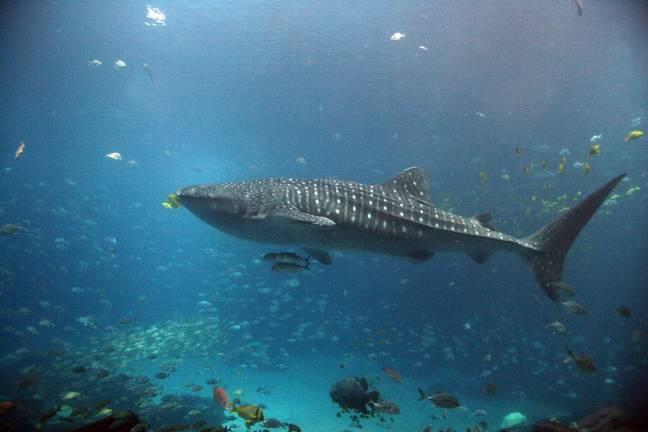Morte de tubarão-baleia ameaçado de extinção no aquário gera debate sobre animais em cativeiro