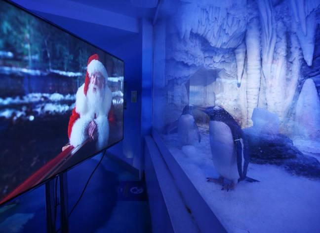 Pinguins-gentoo no aquário de Londres são tratados com exibições de filmes de natal durante o isolamento