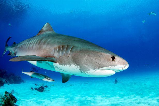 Turista morto em ataque de tubarão no Caribe