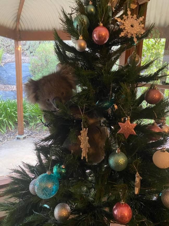 Coala é encontrado vivendo na árvore de natal da família australiana