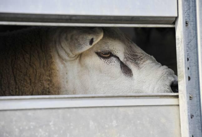 Reino Unido se tornará o primeiro país a proibir exportações de animais vivos