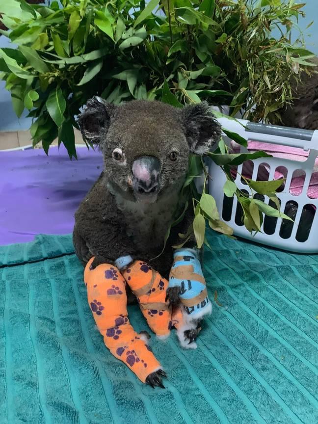 Mais de 61.000 coalas mortos, feridos ou afetados por incêndios florestais no verão