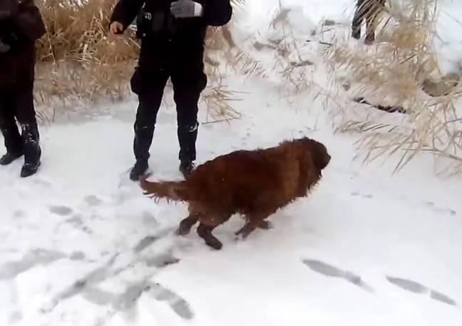 Policiais heroicos salvam Golden Retriever de lago congelado