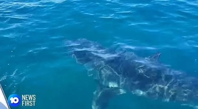 Enorme tubarão branco persegue tubarão-tigre na costa de Perth