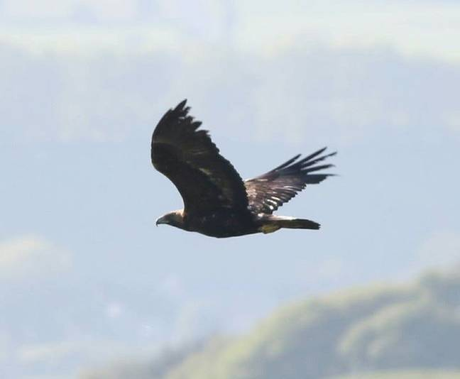 A última águia dourada sobrevivente no País de Gales foi baleada duas vezes antes de morrer