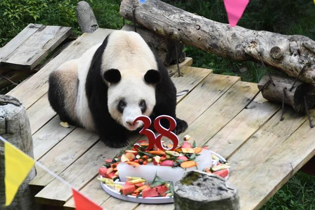 O panda mais velho do mundo em cativeiro morre com 38 e quatro meses