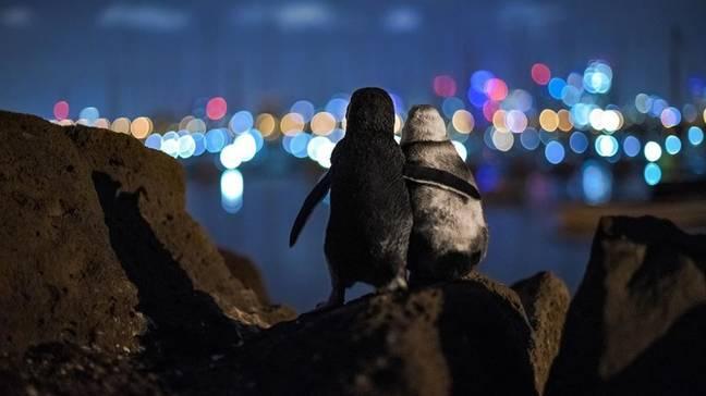 Imagem viral de pinguins viúvos ganha prêmio de fotografia