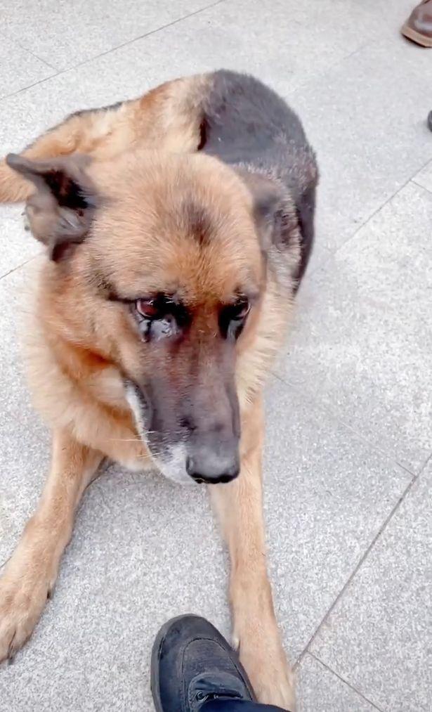 Ex-cão policial 'chora' após se encontrar com o condutor que ele não vê há anos