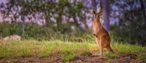 Homem avista canguru enquanto caminha pela mata