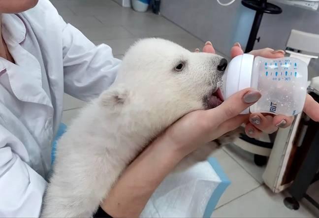 Filhotes de urso polar são mimados pela equipe do zoológico após serem rejeitados pela mãe